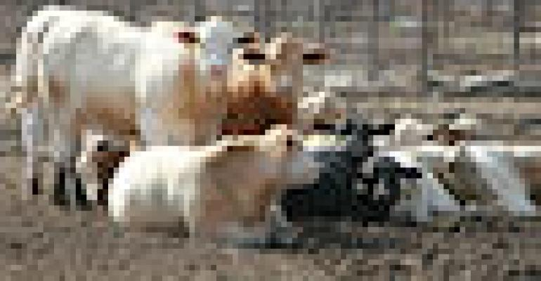 Beef Cattle Herd Expansion Is Real, at Least for Now