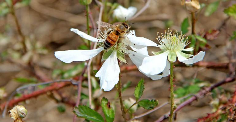 Honey bee diet a major factor in colony deaths