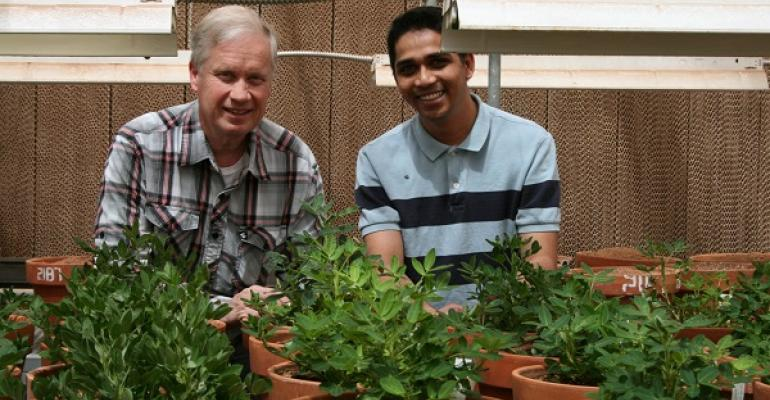Dr Mark Burow and Ratan Chopra Texas Tech graduate student survey potted peanuts in their Lubbock greenhouse