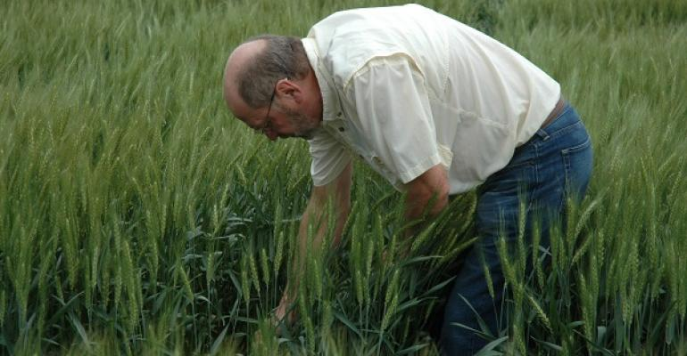 Jim Swart Texas AgriLife integrated pest management specialist at Commerce Texas checks wheat trials near Leonard Texas