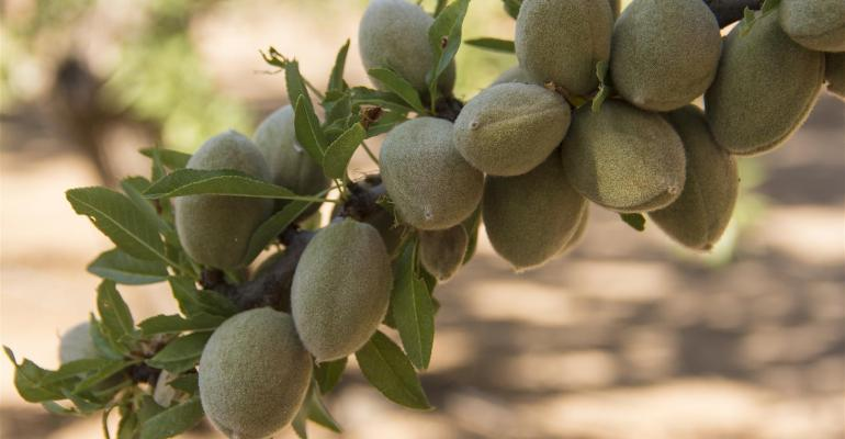 Almonds ripening on a branch