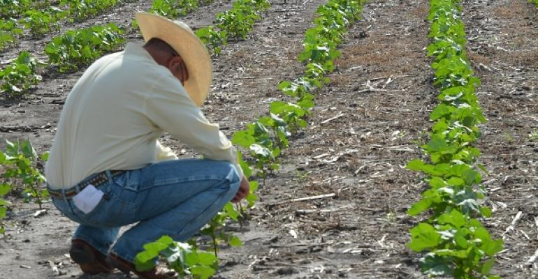 Shane McLellan Texas AgriLife Extension Service agent for McLennan County inspects cotton on the Stiles Farm during last weekrsquos annual field day Cotton in the Blacklands has overcome a slow start and shows promise of making a decent crop say Extension observers