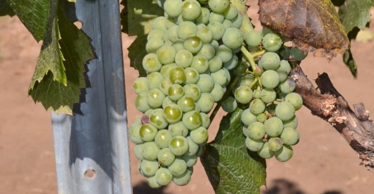 Early crop shows signs of a fine finish for Monterey County grower