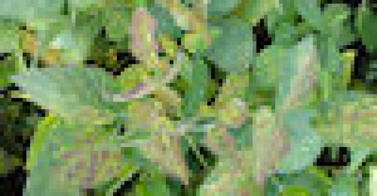 Scout the End of July for Sudden Death Syndrome in Soybeans