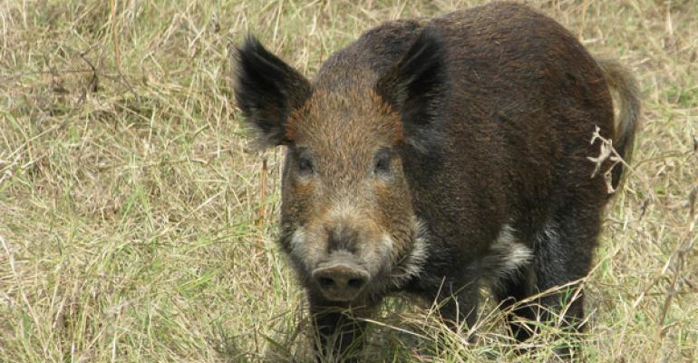 Feral hog hotline established to identify high risk areas