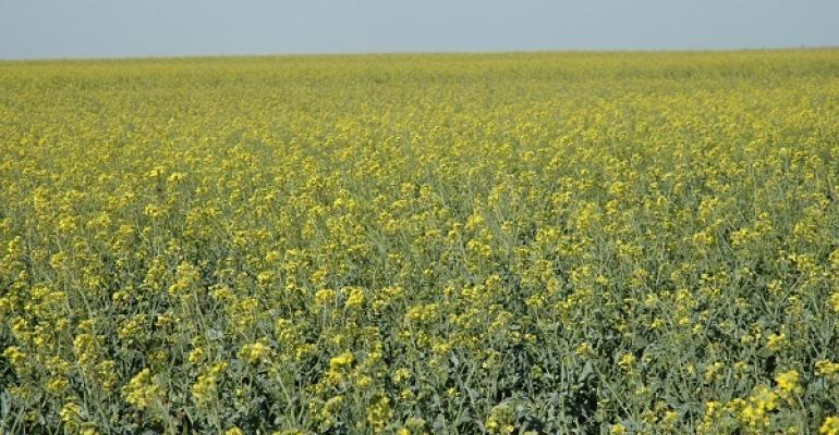 Canola may be a good rottion option with wheat
