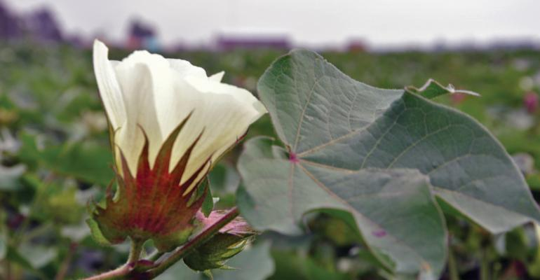 Mid-South cotton crop looks fair to great, but late