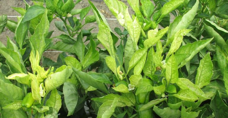 Surprising spring virus wise in Coachella Valley bell peppers