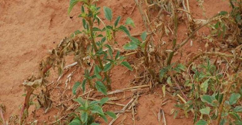 Palmer amaranth is one of the most worrisome herbicide resistant weeds