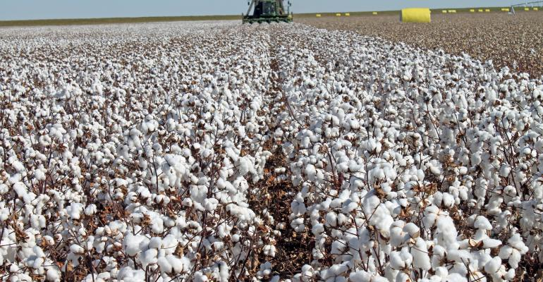 A field of 5bale cotton in Texas The variety is NG 1511 B2RF