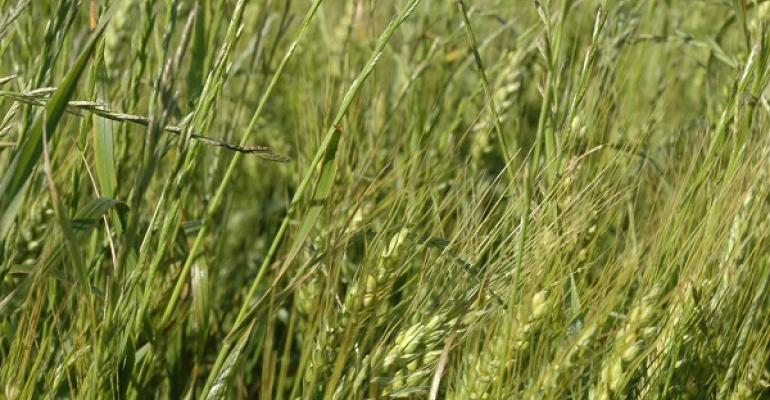 Ryegrass escapes may be herbicide resistant