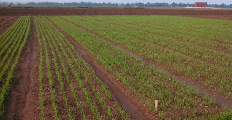 Recently planted wheat in Texas AampM AgriLife Extension Service trials near College Station showed good emergence and stands