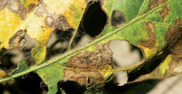 SOYBEANS SUFFERING from aerial web blight can be difficult to scout because symptoms vary at different times of the day