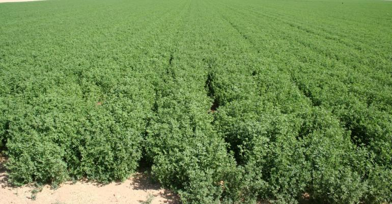 Why alfalfa is the best crop during a drought