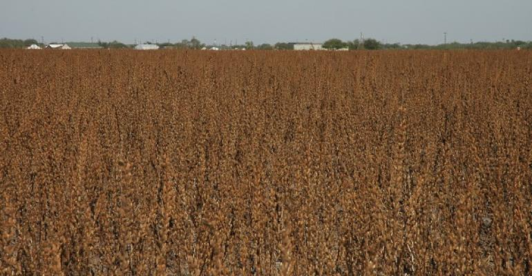 SESAME may offer  southern Plains farmers a heat and drought tolerant crop option depending on contract offerings and good production practices