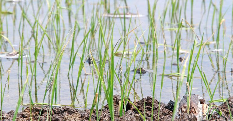 How to manage rice with herbicide drift
