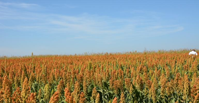 Sorghum acreage expected to increase this year to meet export demand improve profit potential