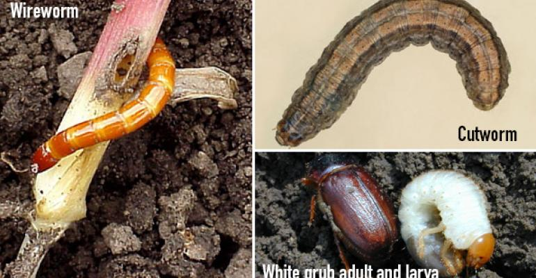 Scout emerging corn for insects: Cutworms, wireworms, white grubs