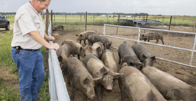 Using pigs to root out weeds in crop fields