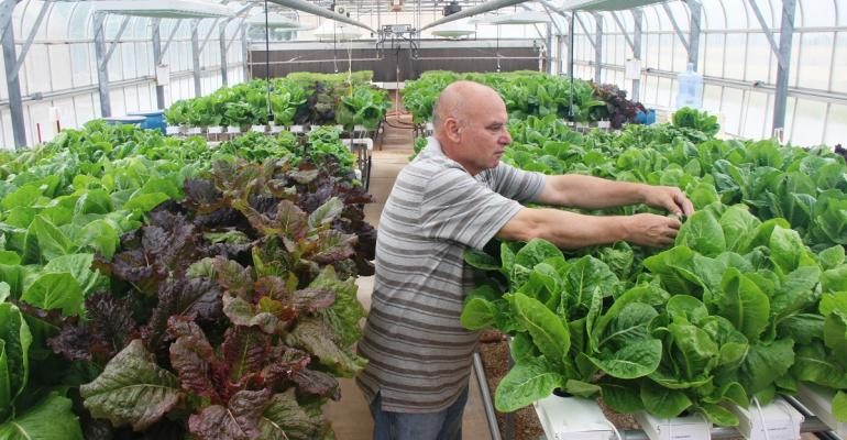 Dr Vasile Cerven examines one of the the lettuce varieties grown hydroponically at the Uvalde center
