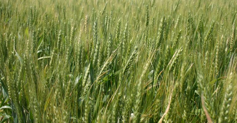 Extreme price volatility and selling wheat