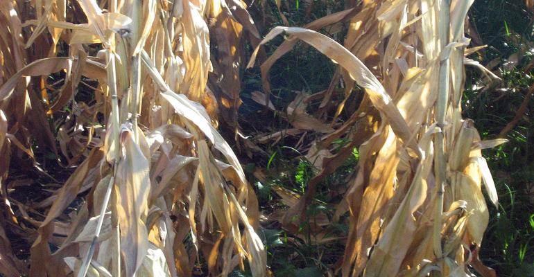 Cover crops interseeded at V5 or V6 were healthy green and ready to explode as corn dried down prior to harvest