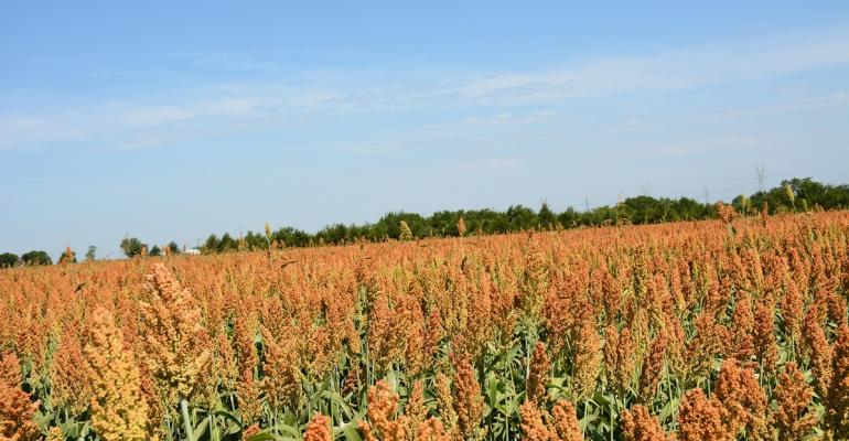 Rotating grain sorghum with cotton provides benefits most years according to Texas AgriLife and Oklahoma State University  extension specialists