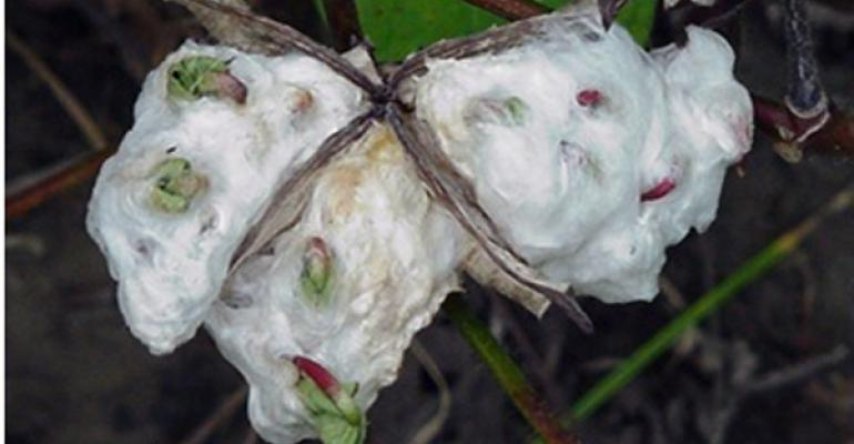 Check wet cotton fields for seed sprouting