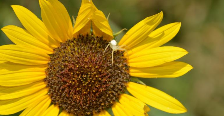 Researchers say wild sunflower holds key to better commercial crops