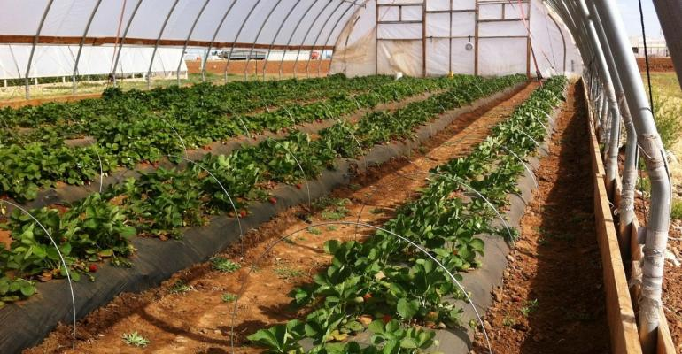 Strawberries grown under a high tunnel can be productive well after a frost on the Texas High Plains near Lubbock