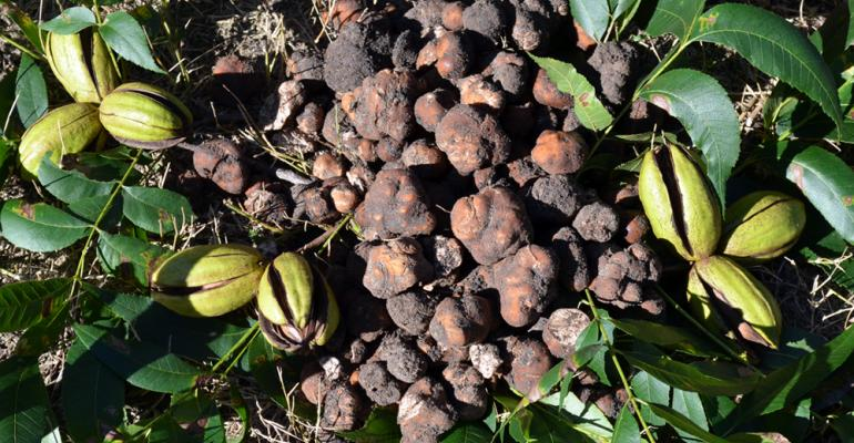 A group of truffles are shown next to pecans in an orchard