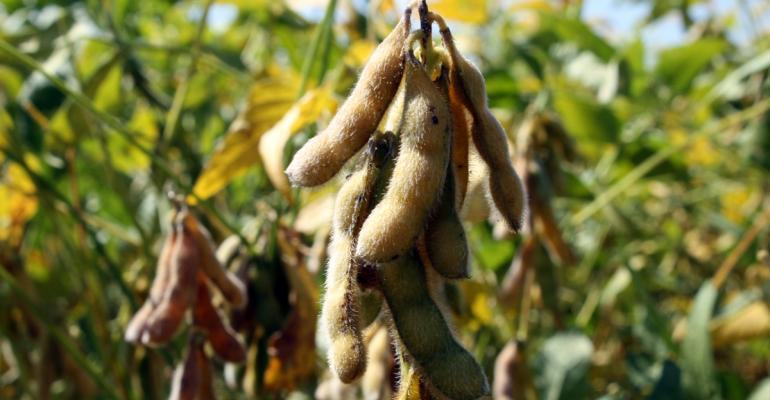 Are early production indeterminate soybeans now worth a try?