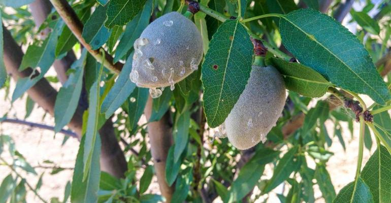 Crop damage to almonds from insects