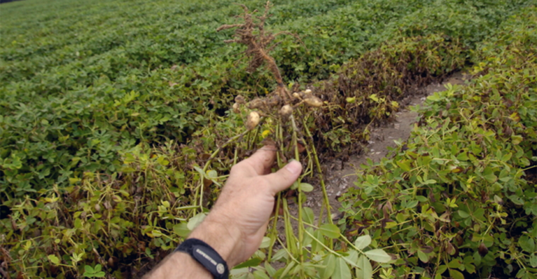 15-year rotation not enough to halt nematode damage in peanut field