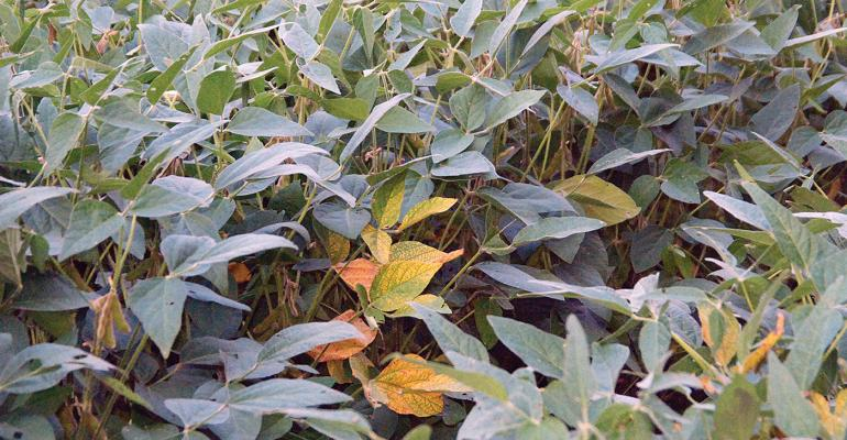 ldquoInterveinal chlorosis is one of the most common symptoms associated with taproot decline Typically interveinal chlorosis can be observed in a single plant or small clumps of plants together scattered around in a single fieldquot says Tom Allen Mississippi State University plant pathologist
