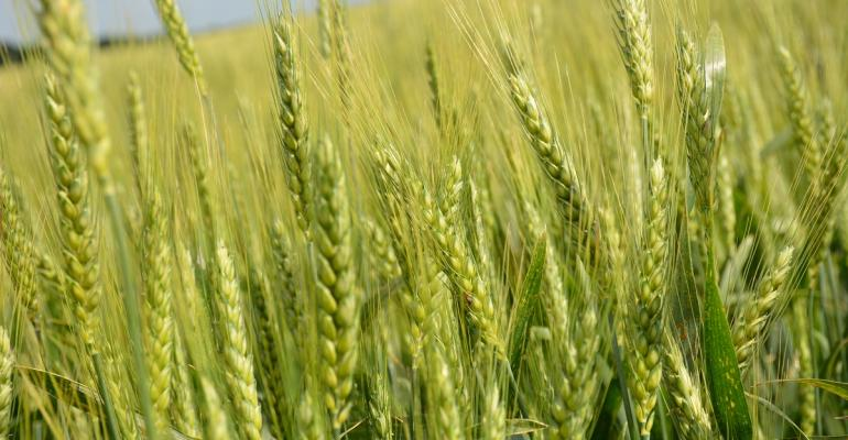 Current growing conditions donrsquot support a 9 percent 357 bushels per acre to 389 bushels per acre increase in 2016 US wheat yields