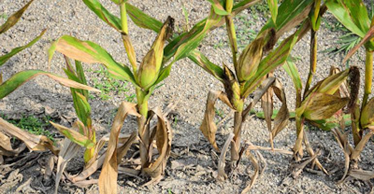 See just how bad corn plants want to grow and reproduce!
