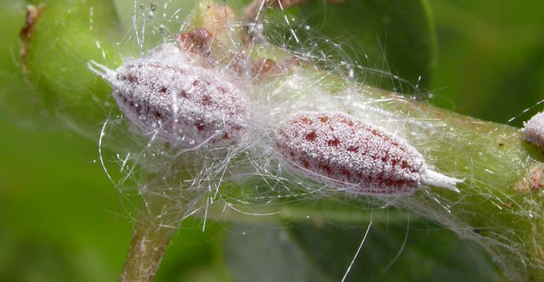 The adult female Gill39s mealybug Ferrisia gilli has a pink body and is covered in white wax Photo by David Haviland