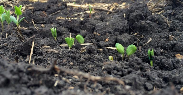 soybeans emerging