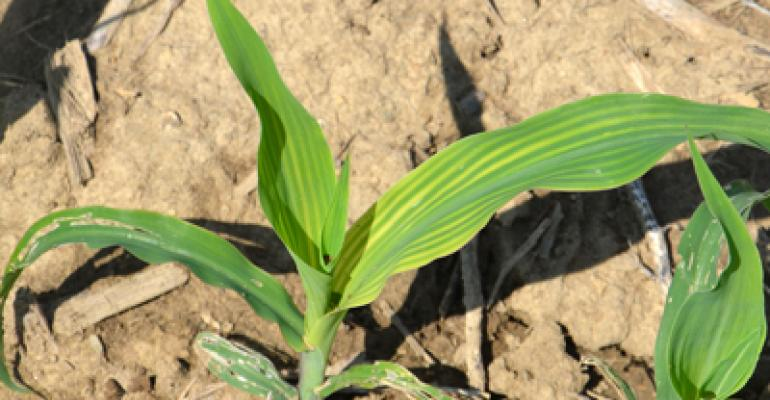 4 possible causes of striping in corn