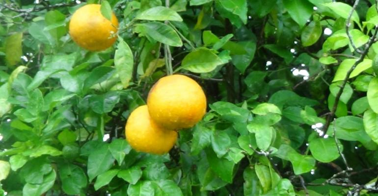 South Texas citrus threatened by HLB disease