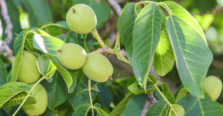'Less is more' when pruning young walnut trees