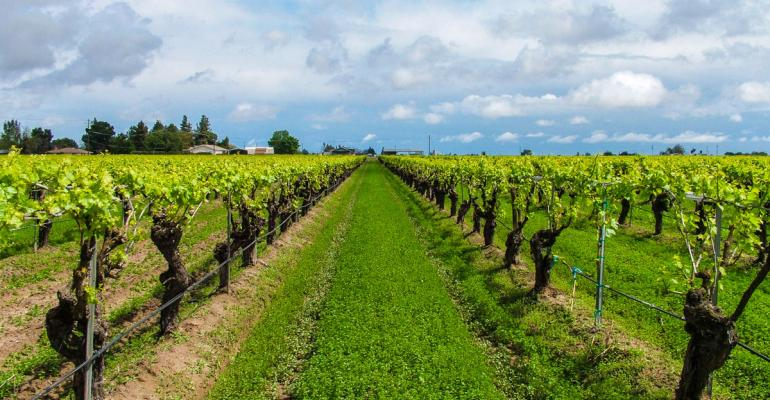 Tips for limiting spider mite damage in vineyards