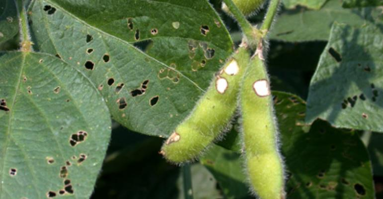 7 soybean insects to watch for this time of year