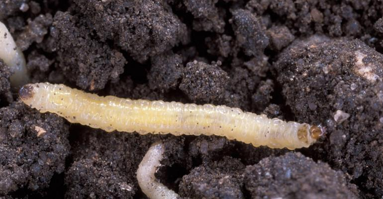 The third shoe has dropped: BT resistance in western corn rootworm found