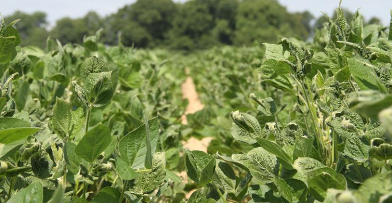 Dicamba-damaged soybeans