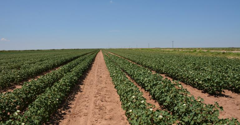 Improved growing conditions in West Texas mdash rainfall mdash may have influenced August price pullback