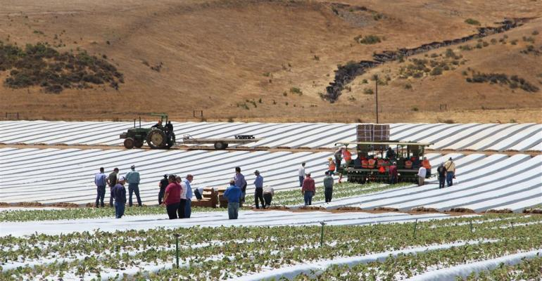 Mechanically transplanting strawberries saves time and labor costs