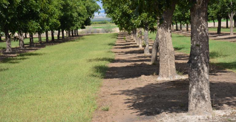 New Mexico pecan crop threatened by pests