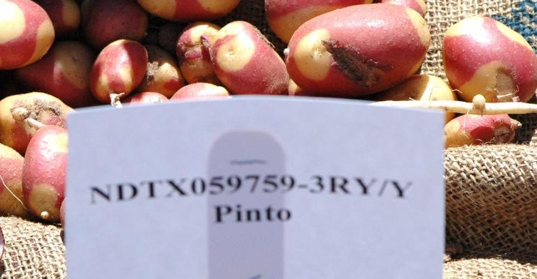 Harlequin Gold is the new pinto potato variety ready for release with a red and yellow skinned with a yellow flesh